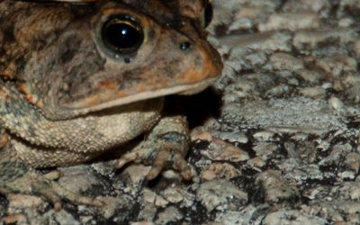 Toxic, dog-killing toads are invading Florida yards